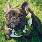English Bulldog Wedding Ring Bearer