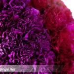 Purple carnations wedding ceremony altar arrangements by anne mendenhall flowers J Squared Events